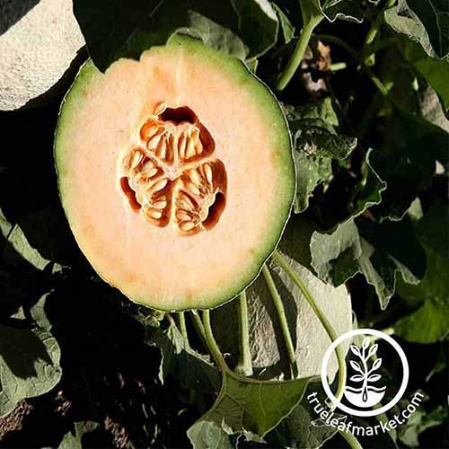 An 'Athena Hybrid' melon that has been cut in half to display the orange flesh and small cavity filled with seeds inside, with dark green foliage in the background, in bright sunshine.