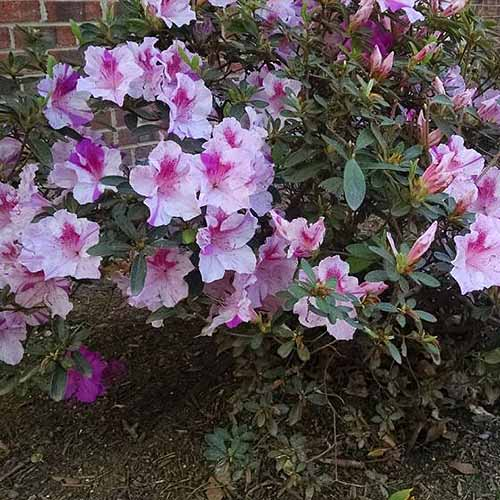 A close up of 'Autumn Twist' azaleas in light and dark pink growing in the late summer garden.