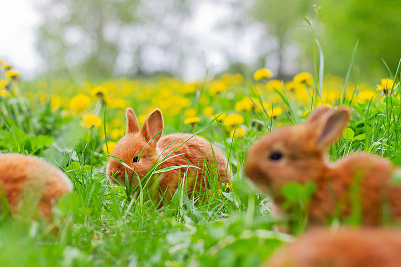 A close up of baby brown rabbits playing in the garden with yellow flowers in soft focus in the background.