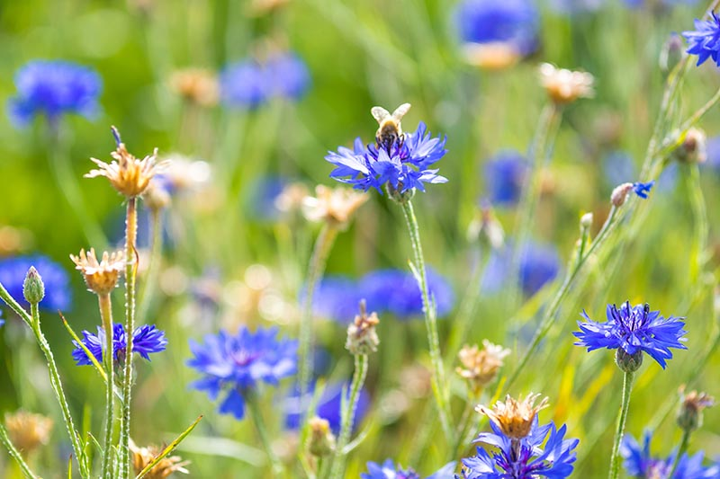 A close up of cornflowers growing in a meadow. Some of the blooms are dried out and spent, and others are lilac, pictured in bright sunshine fading to soft focus in the background.
