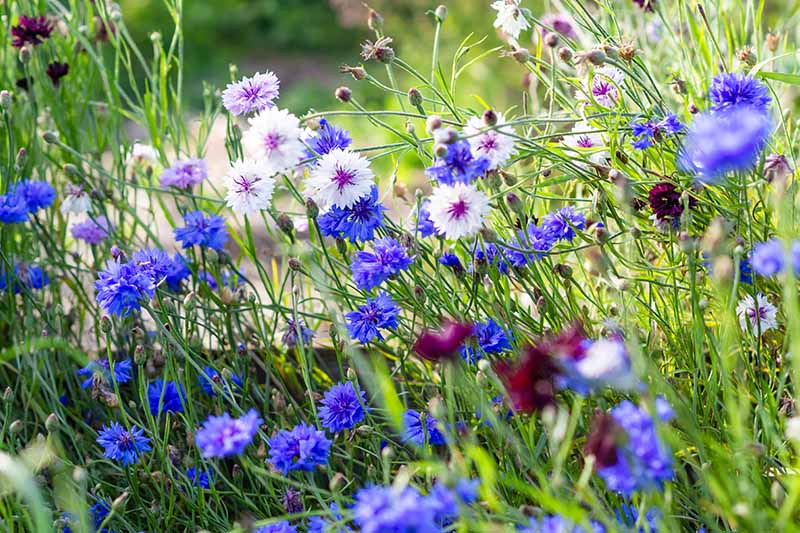 A horizontal image of cornflowers and other flowers growing in a summer meadow, pictured in bright sunshine.