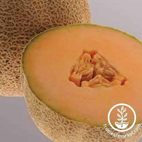 Closely cropped closeup image of one whole and one 'Ball 2076' melon that has been cut in half to display the pale orange flesh inside, with tan rinds, on a light gray background.