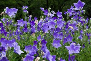 How to Grow and Care for Balloon Flowers