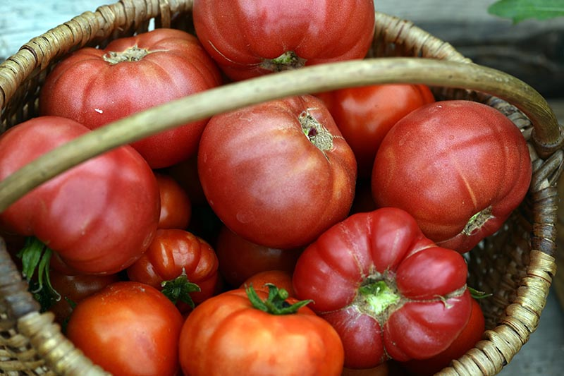 A close up of a basket filled with bright red heirloom tomatoes, on a soft focus background.