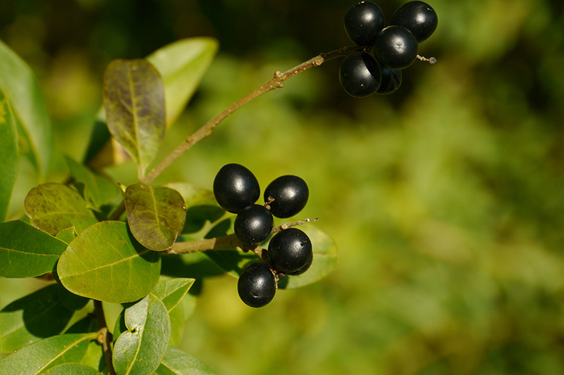 A close up of dark, almost black fruit on a bay laurel tree growing in the garden, pictured on a soft focus background.