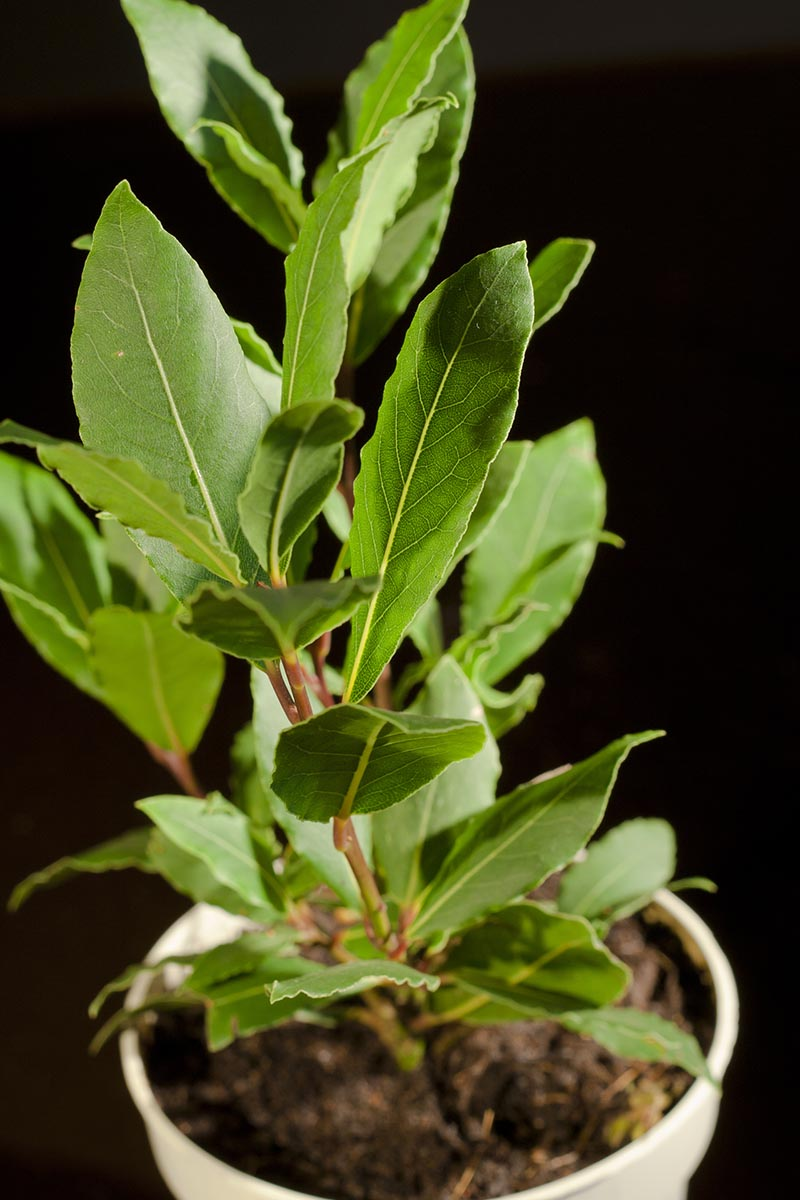 A vertical close up of a bay leaf tree growing in a small container pictured on a dark background.