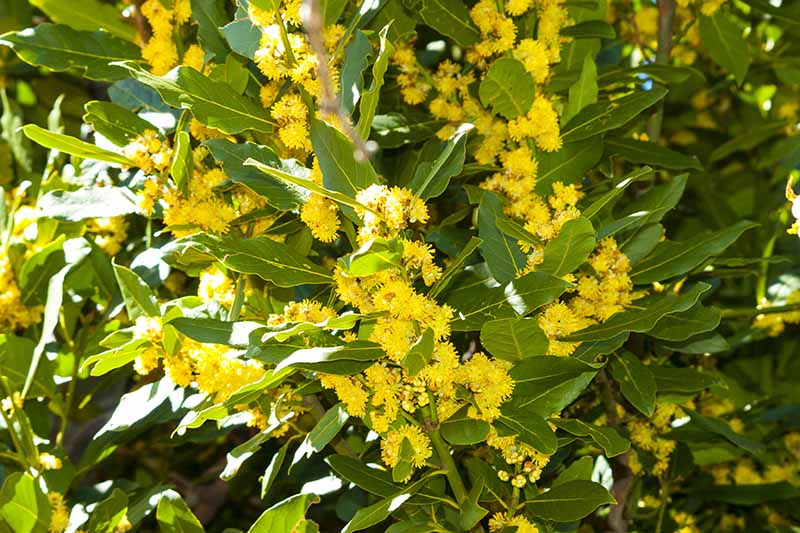A close up of a bay tree with bright yellow flowers pictured in bright sunshine growing in the garden.
