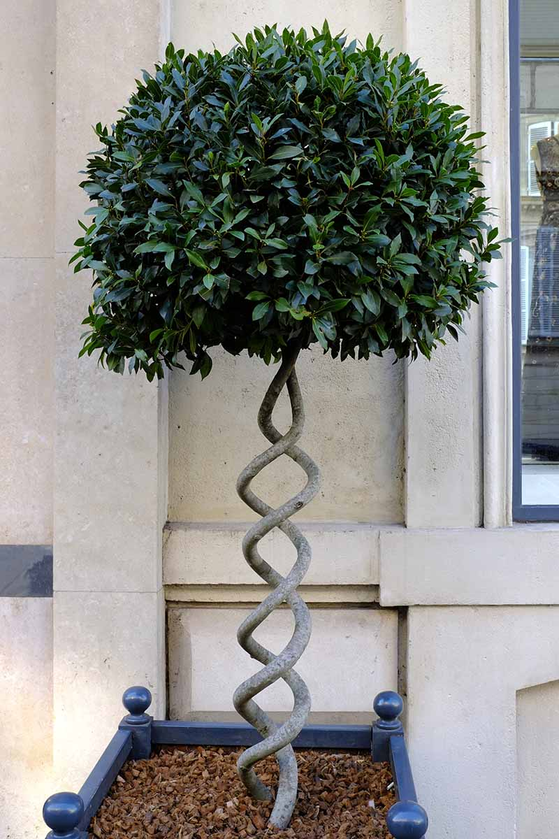 A vertical picture of a Laurus nobilis tree with two stems pruned into a round topiary style, growing in a square blue container outside a stone walled home.