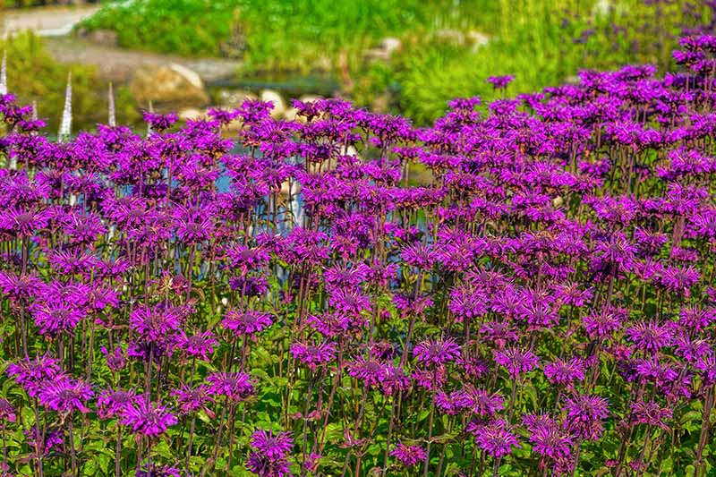 A large swath of pink bee balm flowers growing in the garden with a pond in soft focus in the background.