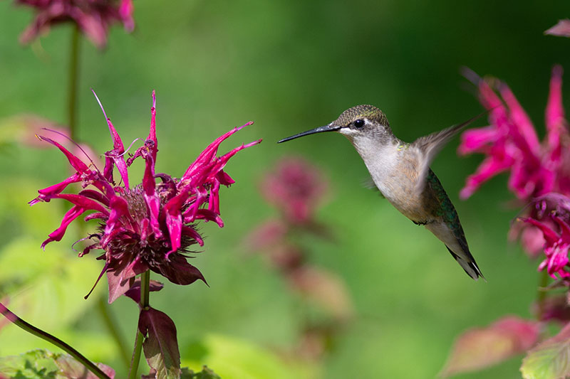 A close up of a hummingbird feeding on a bright red bee balm flower in light sunshine pictured on a green soft focus background.