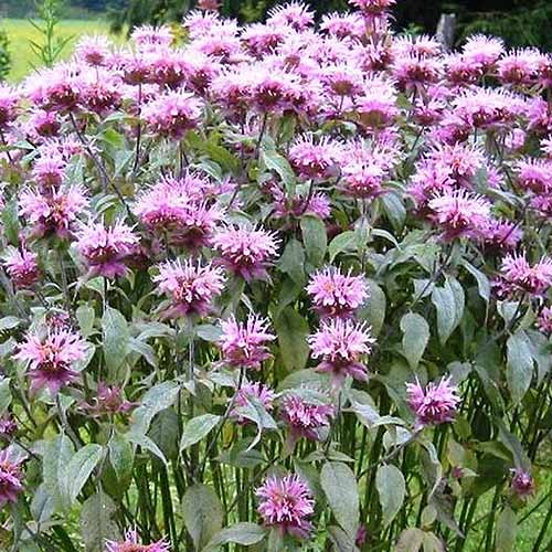 A close up of a clump of pink bee balm growing in the garden.