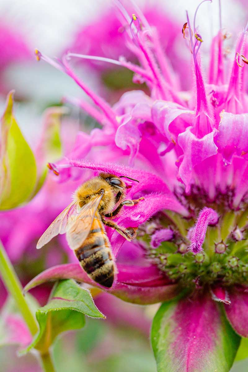 A vertical close up picture of a bee feeding on a bright pink flower, in light sunshine, pictured on a soft focus background.