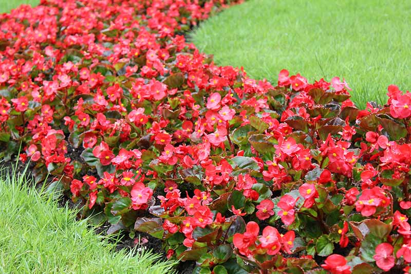 Red flowering begonias planted in a garden border, flanked by lawn in the summer garden.