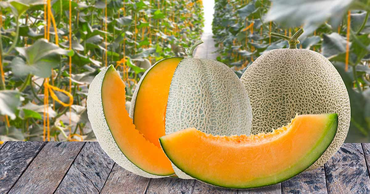 11 Of The Best Cantaloupe Cultivars Gardener S Path What kind of music do you all like? 11 of the best cantaloupe cultivars