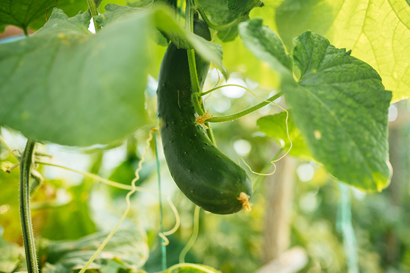 A close up of a small cucumber growing in the garden, pictured in light filtered sunshine with foliage in soft focus in the backgrounds.