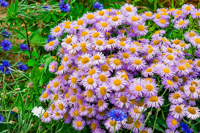 A large swath of charming, daisy-like purple flowers growing in the garden with small blue blooms to the left of the frame.