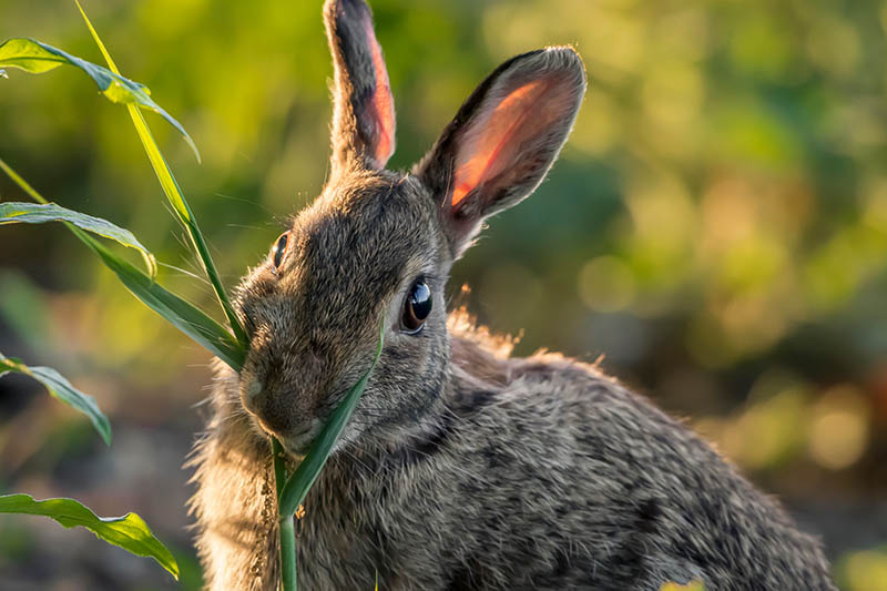 A close up of a rabbit nibbling on a plant, pictured in light sunshine on a soft focus background.
