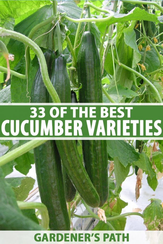 A vertical close up of long, ripe, dark green cucumbers growing on the vine in the garden, surrounded by foliage. To the middle and bottom of the frame is green and white text.
