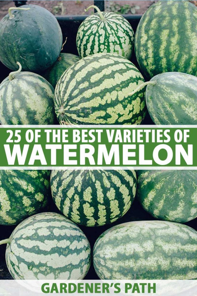 A close up vertical picture of a pile of freshly harvested watermelons of various shapes and sizes, set in a plastic box. To the center and bottom of the frame is green and white text.