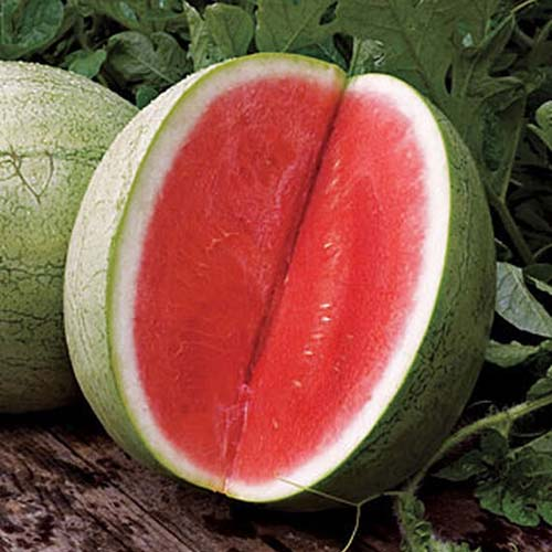 A close up of a large, round Citrullus lanatus 'Big Tasty,' with a slice cut out of it to show the bright red flesh contrasting with its light green skin, set on a wooden surface with foliage in soft focus in the background.