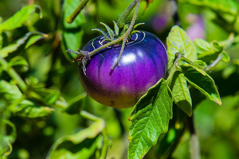 A close up of a bright purplish-blue 'Black Beauty' heirloom tomato growing on the vine, pictured in bright sunshine on a green soft focus background.