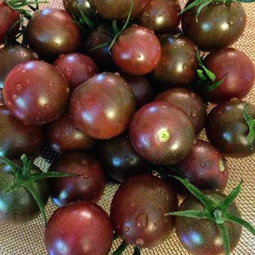 A close up of freshly harvested 'Black Cherry' tomatoes.
