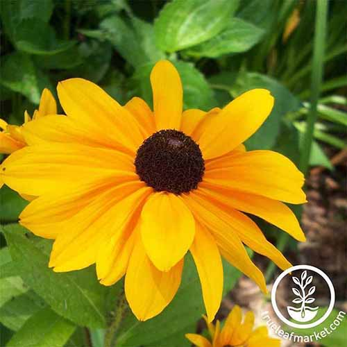 A close up of a yellow black-eyed susan growing in the garden pictured on a soft focus background. To the bottom right of the frame is a white circular logo with text.