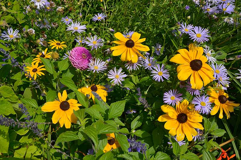A flower garden with black-eyed susans and purple perennial asters pictured in bright sunshine, surrounded by foliage.