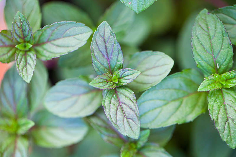 A close up of 'Black Peppermint' growing in the garden with green leaves and purple veins.