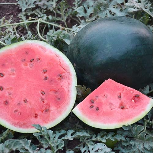 A close up of slices of 'Blacktail Mountain' watermelon, with dark green, almost black skin, and red flesh. set on a leafy background.