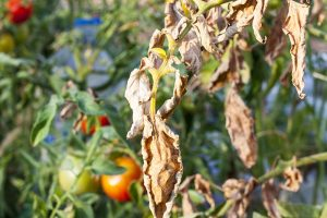 How to Prevent, Identify, and Treat Blight on Tomatoes
