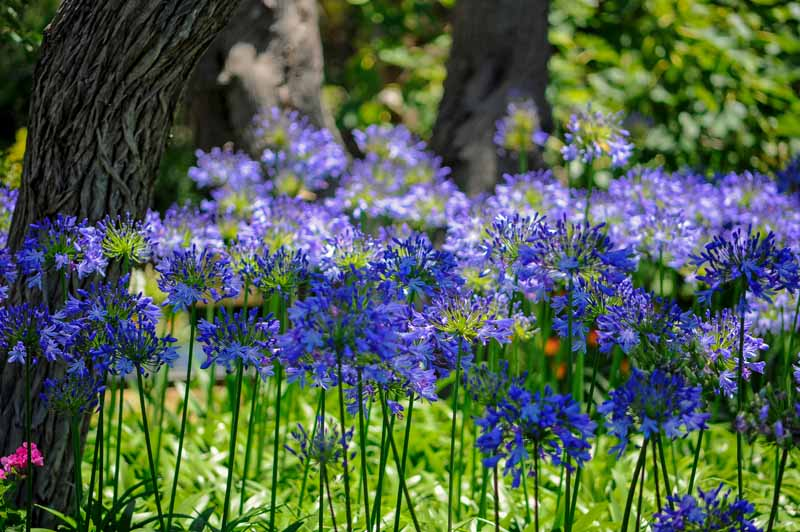 A close up, horizontal image of bright blue agapanthus blooms growing in the garden under trees, pictured in bright filtered sunshine, with shrubs in soft focus in the background.