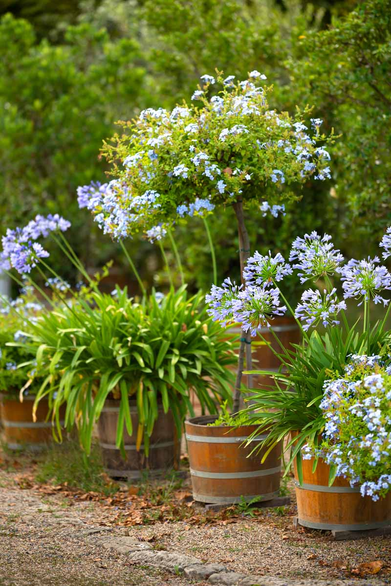 A vertical picture of blue flowers growing in whiskey barrel planters with shrubs in soft focus in the background.