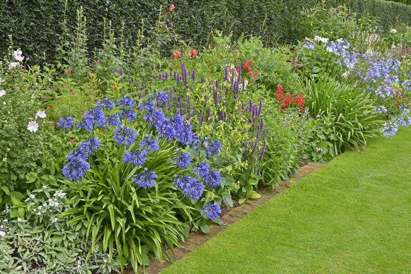 A cottage garden flower garden with a variety of different flowering shrubs next to a neatly trimmed lawn, with a hedge in soft focus in the background.