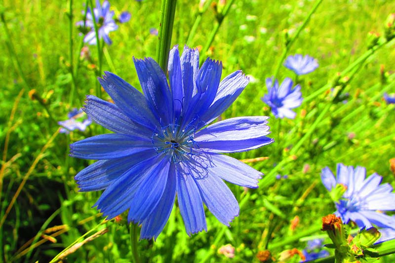 A close up of a bright blue Cichorium intybus flower, growing in the garden, pictured in bright sunshine fading to soft focus in the background.