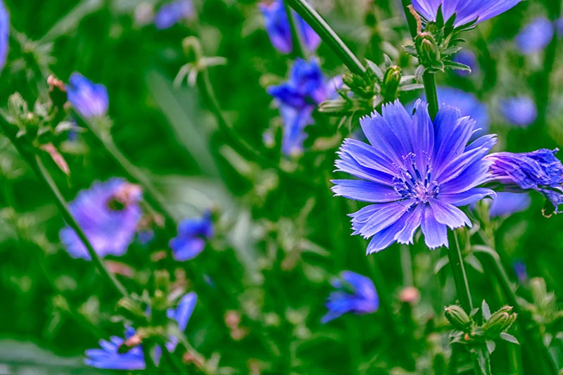 A close up of bright blue Cichorium intybus flowers growing in the summer garden, pictured on a soft focus background.