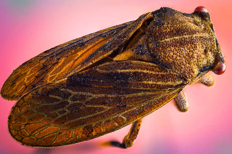 A close up of a brown leafhopper pictured on a red soft focus background.