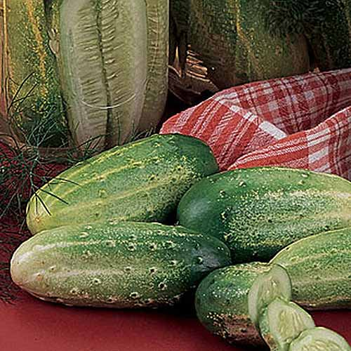 A close up of Cucumis sativus 'Burpee Pickler' set on a countertop in the ktichen.