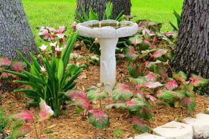 How to Grow Colorful Caladiums