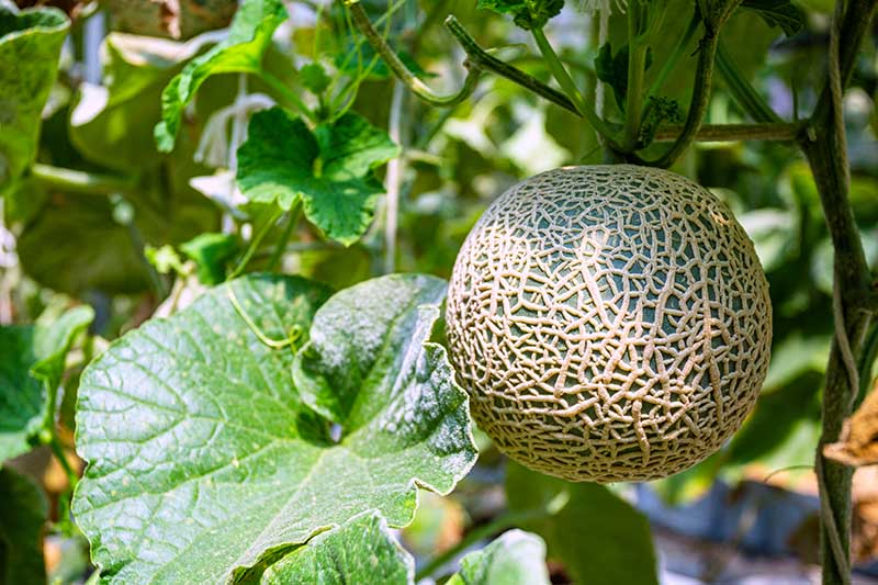 Horizontal image of a cantaloupe with green foliage, growing in the sunshine.