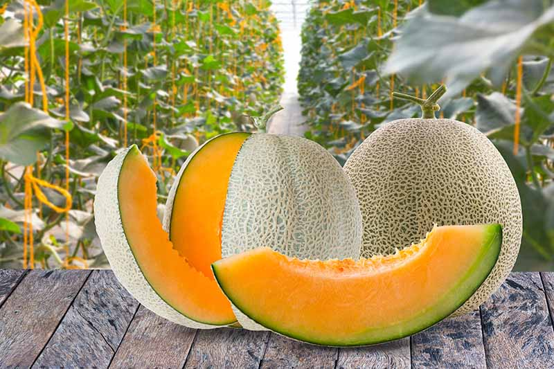 Horizontal image of two slices, a partially cut, and a whole cantaloupe with tan netting, on a wood surface.