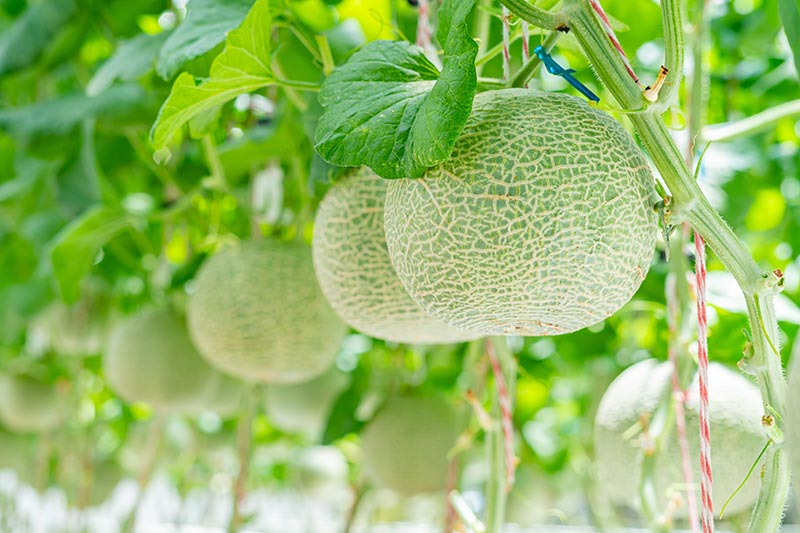 Horizontal image of several cantaloupe on the phone, growing vertically, suspended from a support.