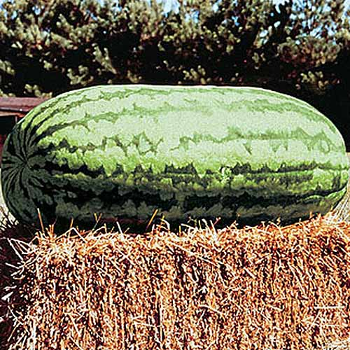 A close up of a large, oblong-shaped 'Carolina Cross #183' watermelon, set on a straw bale, pictured in bright sunshine, with trees in soft focus in the background.