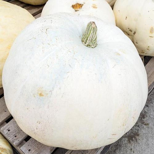 A close up of a white skinned 'Casper' pumpkin, set on a wooden surface.