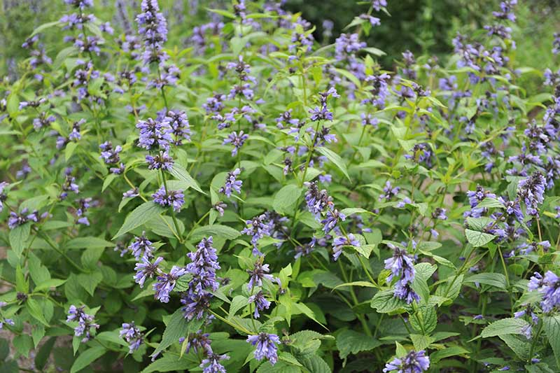 A close up of catmint growing in the summer garden with bright blue flowers and green foliage.