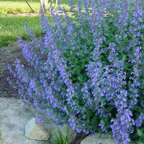 A close up of a clump of blue flowering catmint in a garden border with lawn in the background.