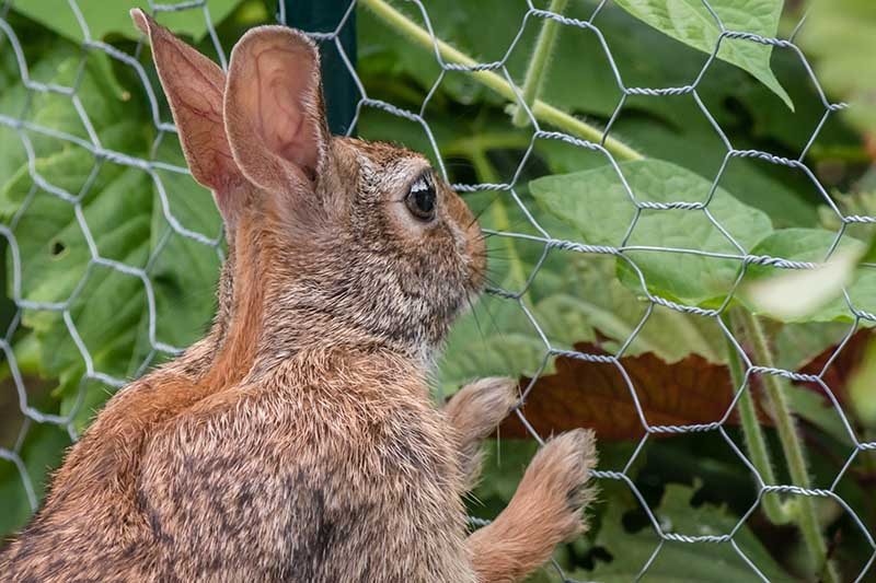 A close up of a small rabbit looking through a metal chicken wire fence at all the delicious vegetables growing on the other side.