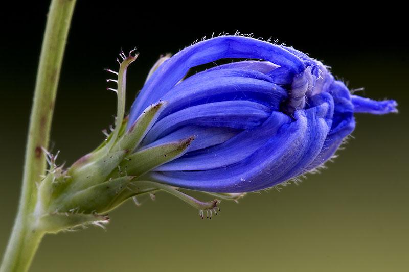 A close up of a blue flower bud just prior to opening of Cichorium intybus, pictured on a dark green soft focus background.