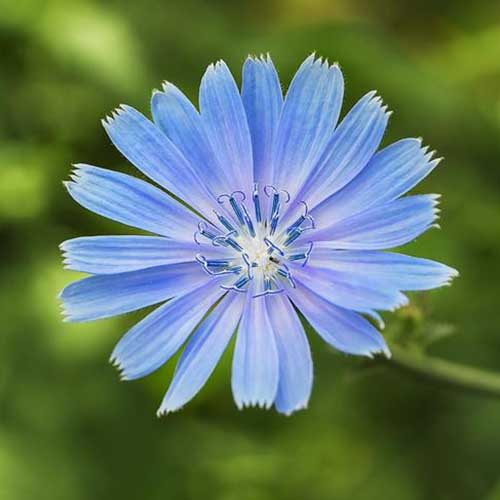 A close up of a bright blue Cichorium intybus flower pictured on a soft focus green background.