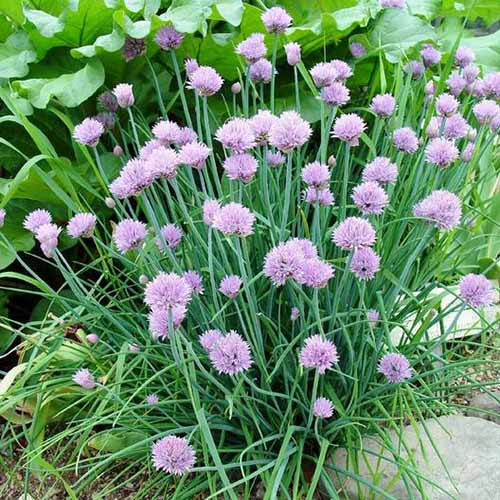 A close up of chive herbs growing in the garden, with pale purple flowers and foliage in soft focus in the background.